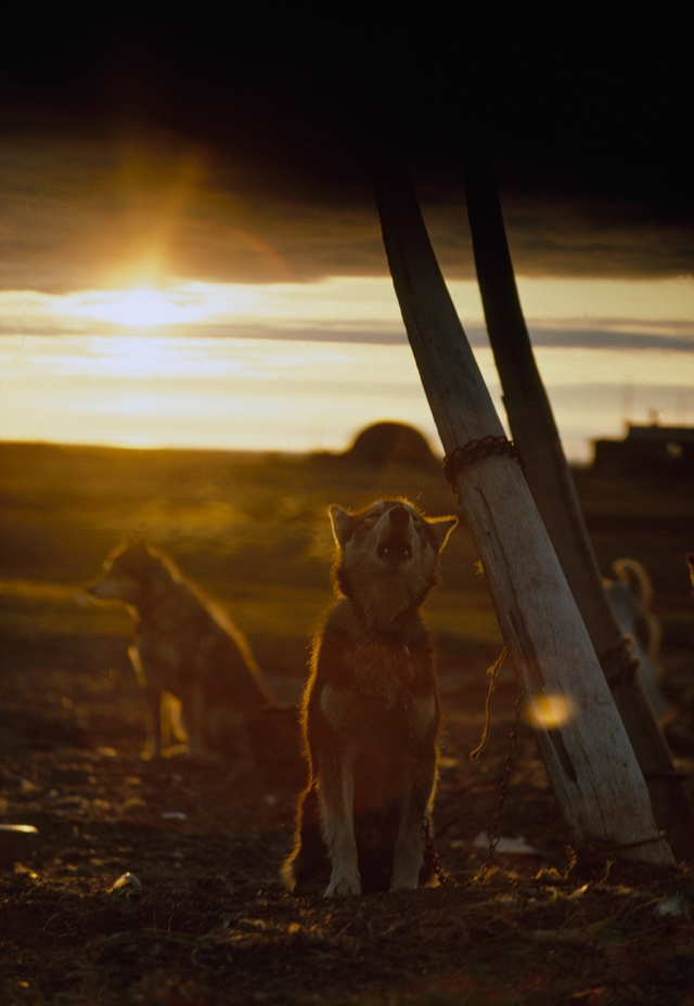 A sled dog, tied to a whale rib, howls under the midnight sun in Alaska, 1969.