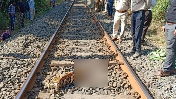 Two tiger cubs were killed on Thursday, 15 November, after being hit by a train in Maharashtra's Chandrapur district, over 150 kilometres from Nagpur