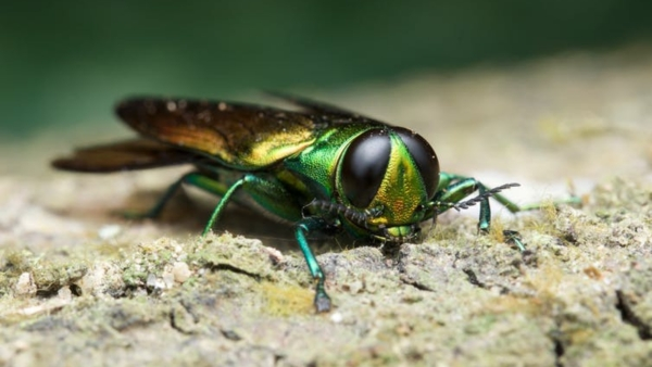 The emerald ash borer is destroying ash trees in 31 states.