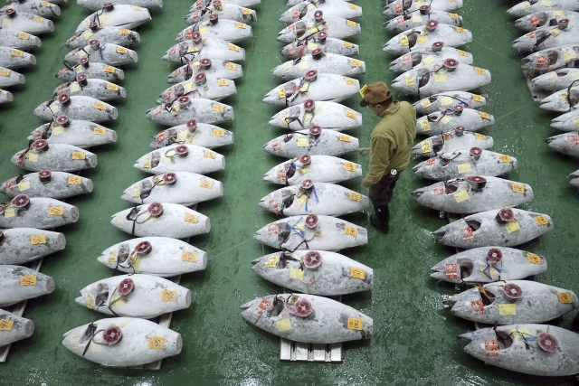 Rows of frozen tuna ahead of the auction at the Toyosu Market.