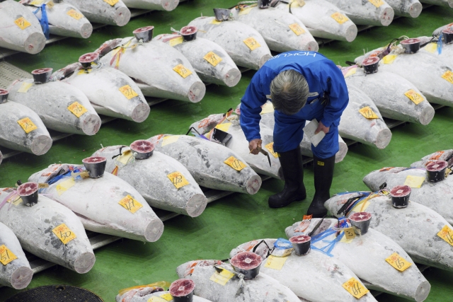 A buyer checks the quality of frozen tuna at the newly-opened Toyosu Market.