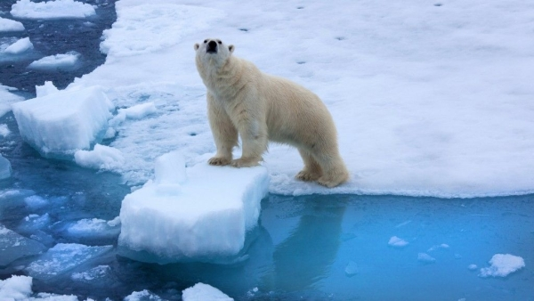 With the sea ice in the Arctic melting, species like polar bear are under threat.