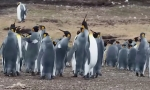 Watch: Penguins are Going to War, But for Love