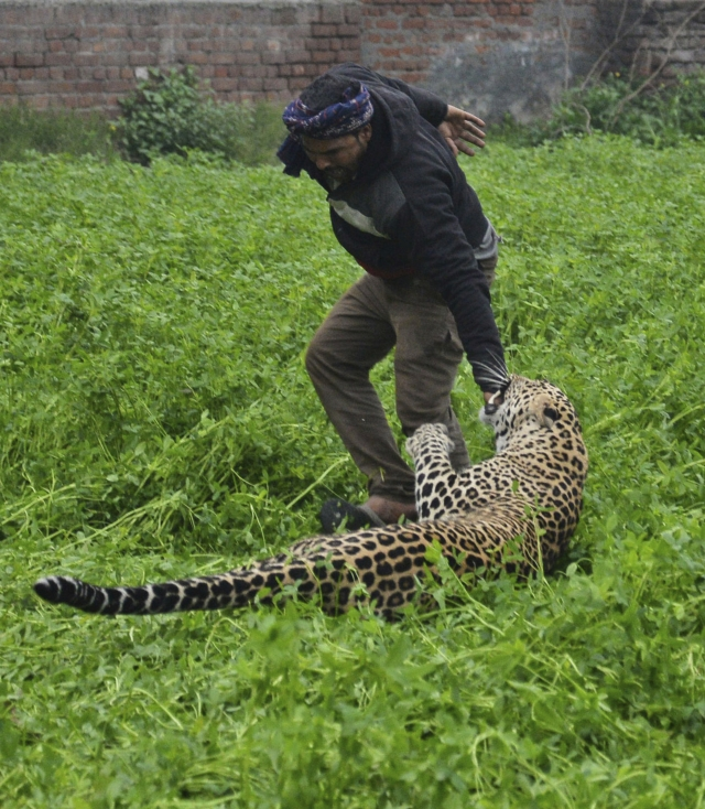 A leopard attacks a man after straying into a residential area in Jalandhar, India, Thursday, 31 January 2019. A forest official says the leopard strayed into a residential district in India and injured at least four people before it was locked up in a room. Conservator Kuldip Kumar says the leopard attacked some forest guards Wednesday when they tried to capture it using a net and at least one resident who pelted rocks at it in Jullundur city in northern Punjab state.
