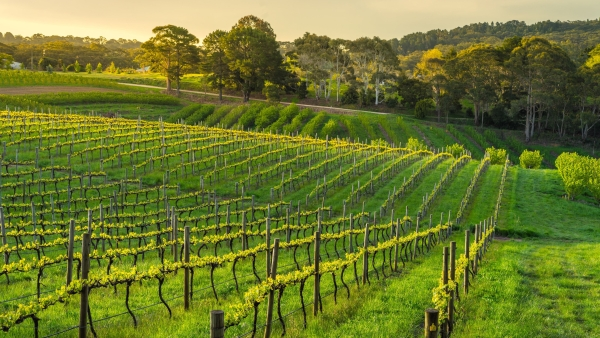 Record-breaking maximum temperatures are changing ripening times in Australia's wine regions.