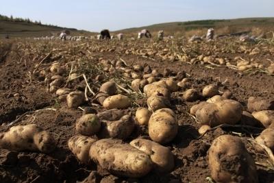 Gujarat government backs potato farmers in PepsiCo case