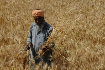 Punjab reaps biggest wheat crop in 20 years