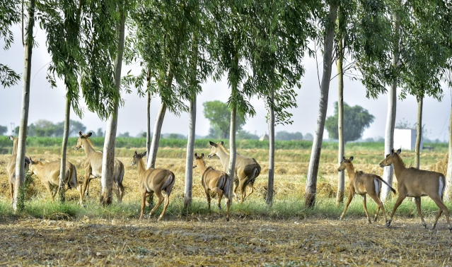 A herd of Neelgai raids a field at a village in Aligarh district, Tuesday, 30 April 2019.