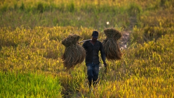 A farmer carries a harvested paddy in a paddy field on the outskirts of Guwahati.