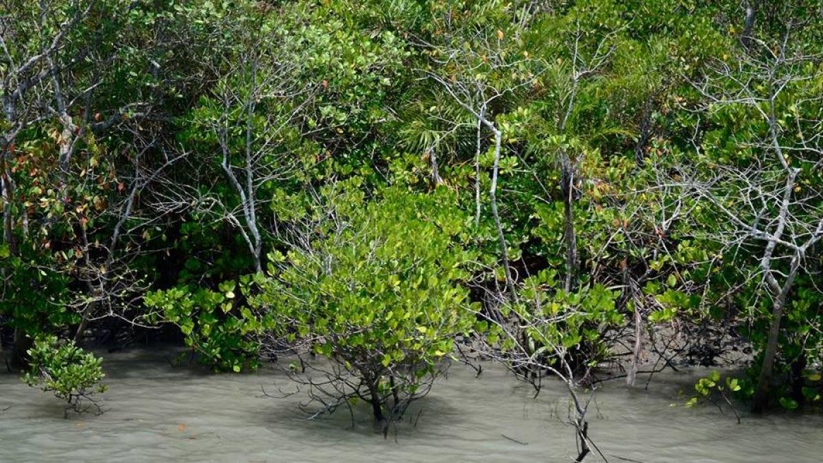 The Mangrove Trees