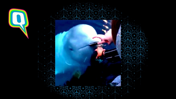 The beluga whale returns woman's phone after she accidentally dropped it in water.