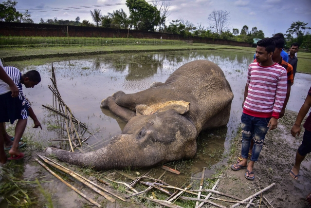 Villagers stand near the body of a wild elephant who, according to forest officials, was electrocuted in a paddy field at Harmati village in Nagaon on Thursday, 2 May 2019.