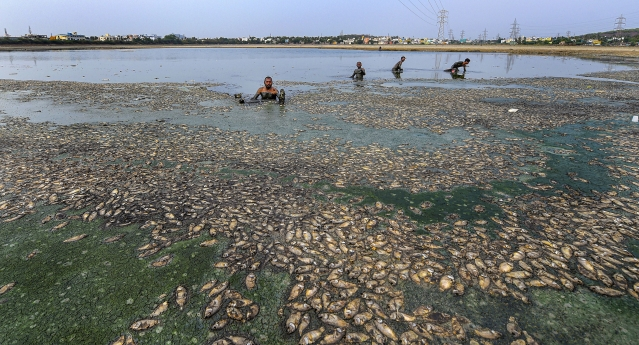 Fish that are believed to have died in the drying Lake Thiruneermalai due to lack of rainfall, in Chennai.
