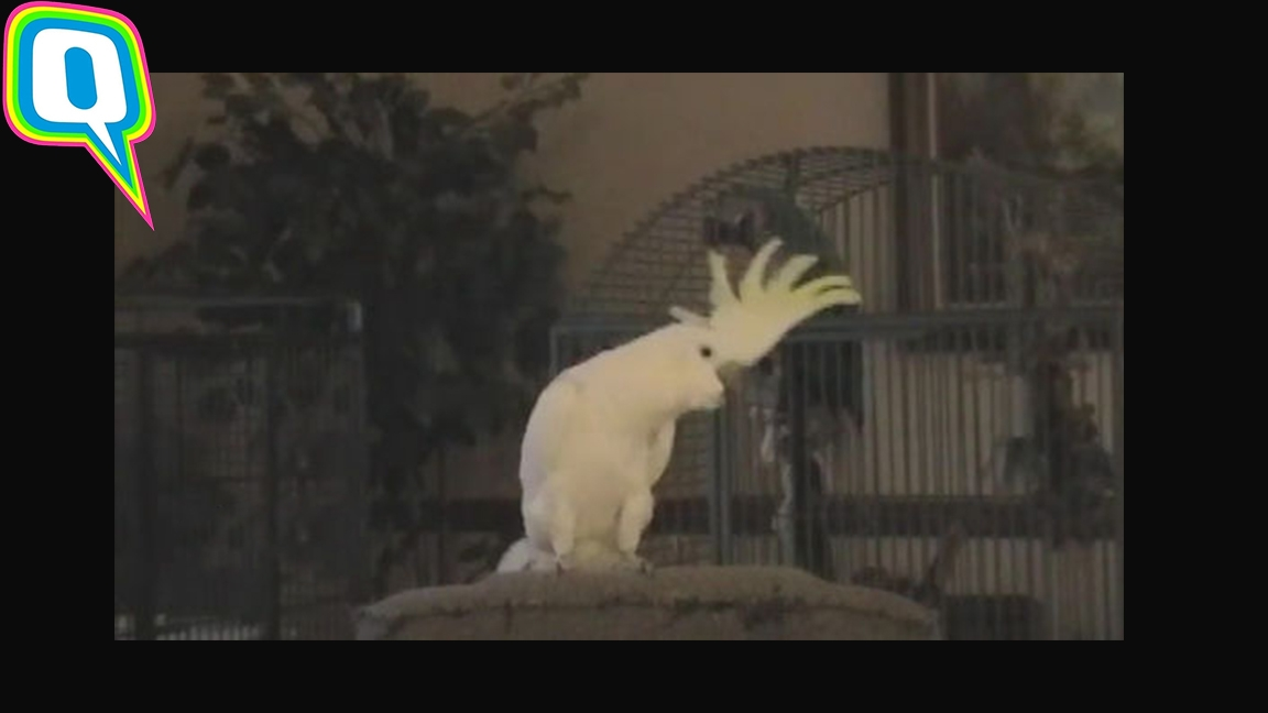 Snowball The Dancing Cockatoo Has 14 Grooves Up His Sleeve