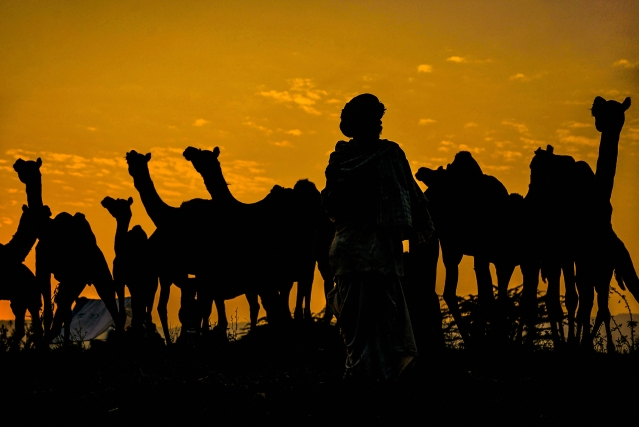 A camel herder walks with his camels during the Pushkar fair in Pushkar.