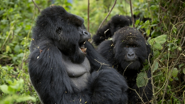 A male  mountain gorilla in Rwanda.