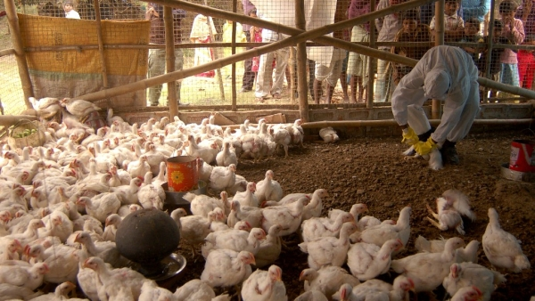 A health worker is seen giving 'medicine' to the chickens at a poultry farm. Photo used for representational purpose.