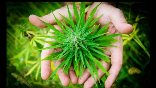 There are a lot of end-stage cancer patients who swear by cannabis oil for cancer treatment.