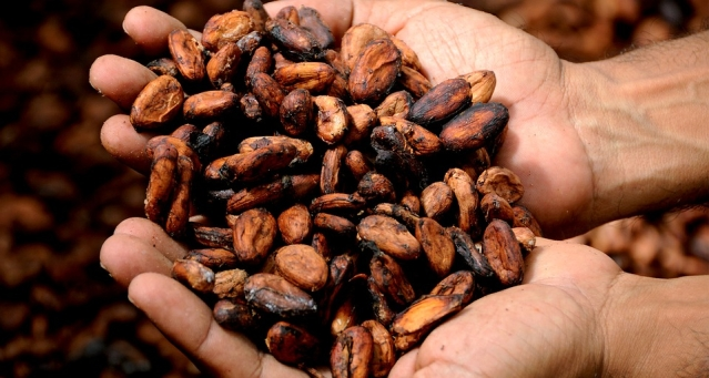 Cacao என்பது சாக்லேட் செய்யப்பட்ட பழம் மற்றும் பீன் ஆகும்.