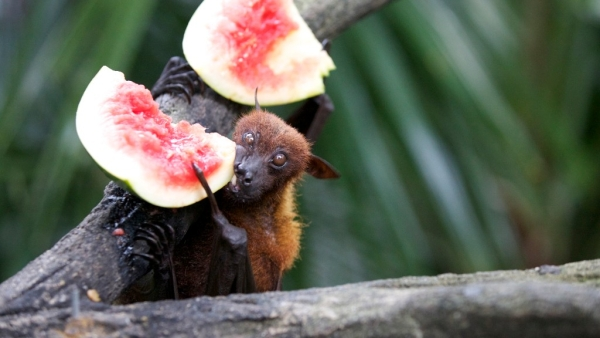 ICMR confirms fruit bats as source of Nipah outbreak in 2 Kerala districts.