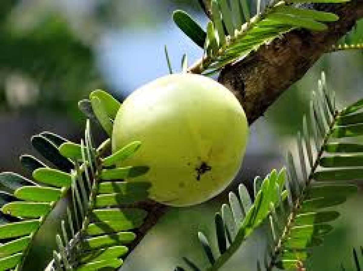 Grate amla and add to smoothies!