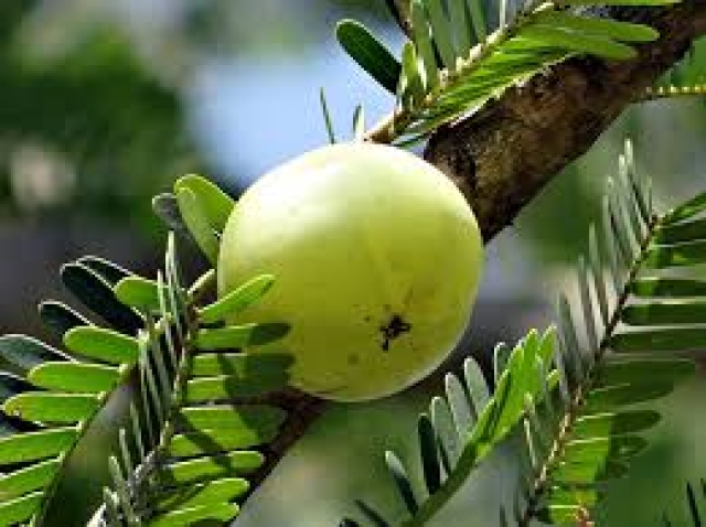 Amla has been proven to be very effective in lowering blood pressure.