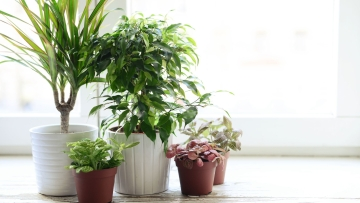 Scientists have genetically modified a common houseplant to remove cancer-causing pollutants from our homes.