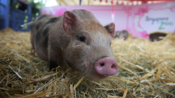 US scientists have partially revived pig brains four hours after the animals were slaughtered.