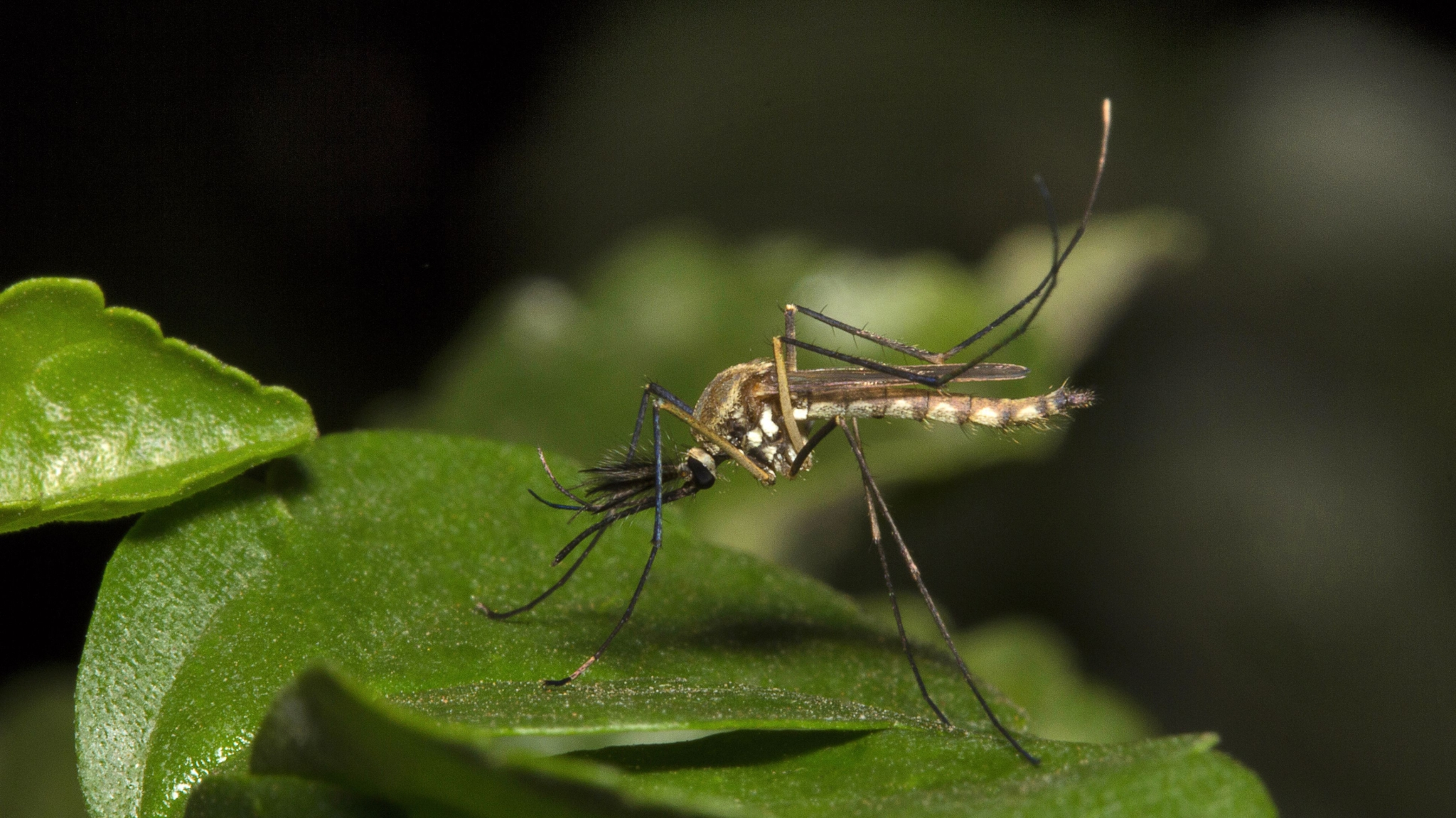 First Ever Case of Dengue Spread Via Sexual-Transmission Confirmed