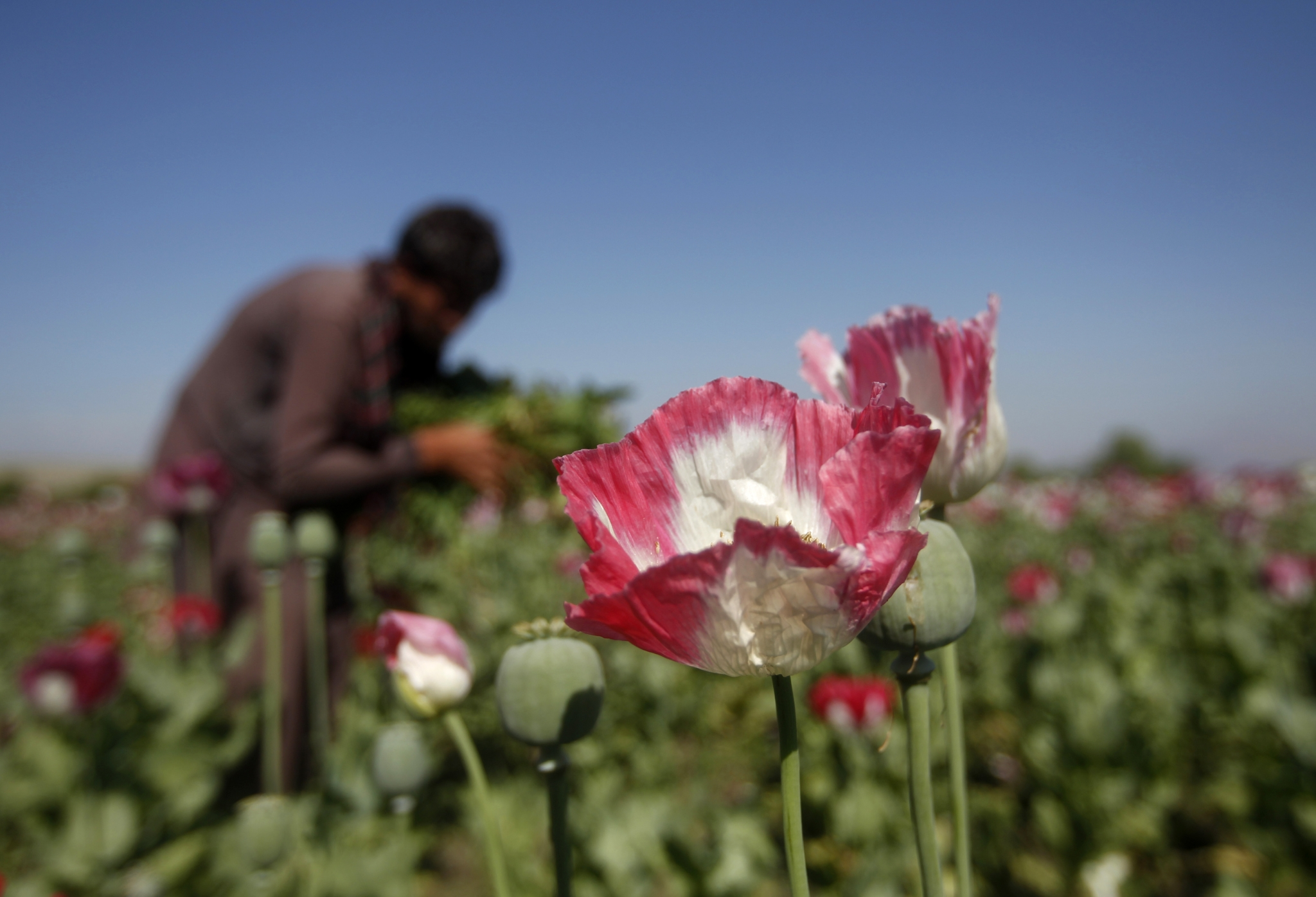 Afghan Smugglers Trying To Give India A High Dose Of Heroin The
