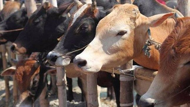 Himachal Govt Demands Cows Be Declared 'Rashtra Mata'