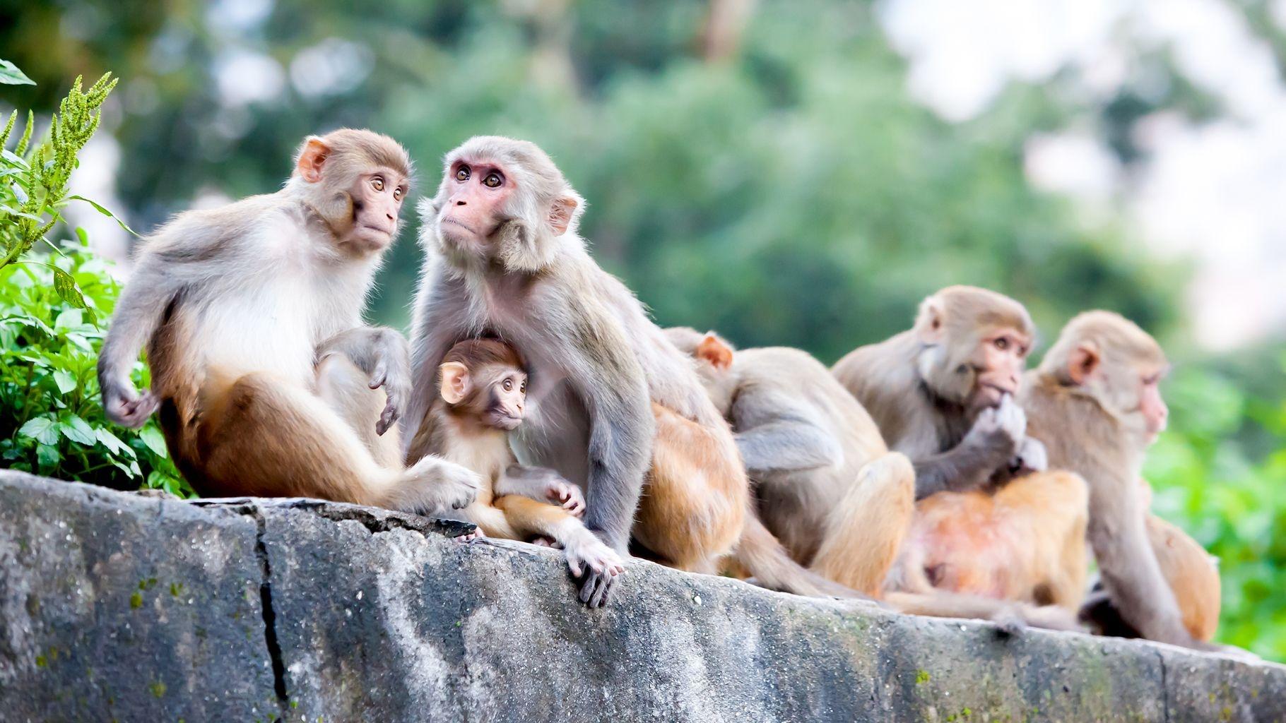 Crop Damage, Monkey Fever Threaten Cashew Production in Goa