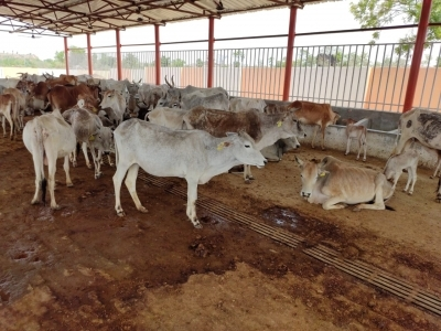 36 more cows dead in UP