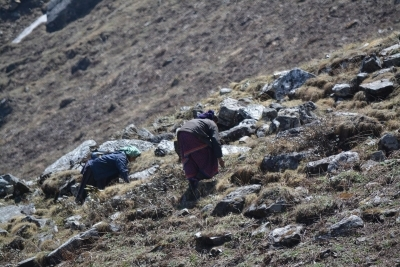 Rush to harvest 'Himalayan Viagra' degrading Uttarakhand's alpine meadows