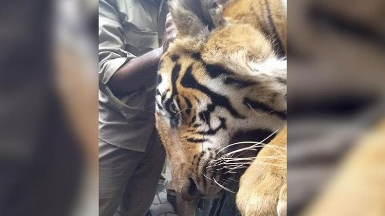 QBengaluru: Elusive Bandipur Tiger Captured; Medical Seat Scam