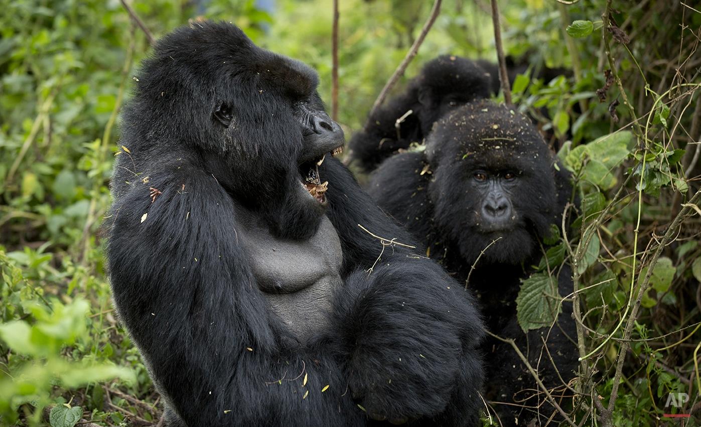 Deep In Rwanda's Rainforest, Gorillas Have a Naming Ceremony