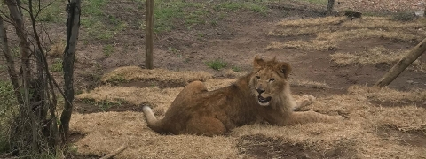 Turkish Cargo Transports Circus Lions Back to  Natural Habitat