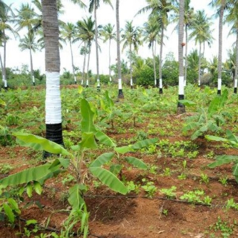 ₹ 3000 Per day from inter cropping… Startling income from 50 cents