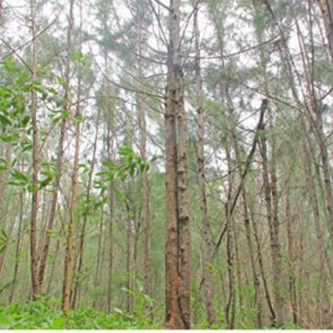 5 acres    4 years    9 Lakhs    Profit-yielding Casuarina