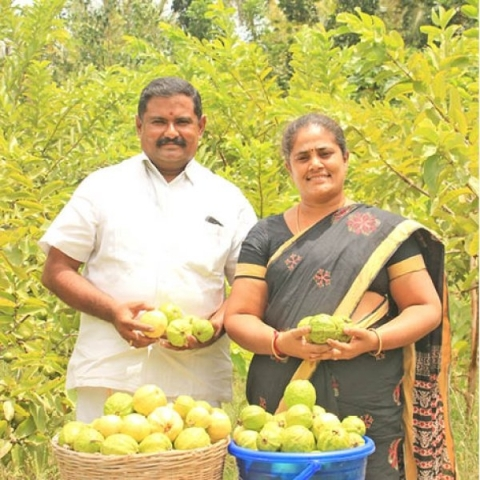 1 Acre    3 lakhs from Guava    Giving aplenty!   1 Acre    3 lakhs