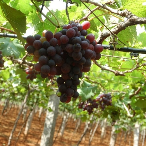 Rs 4,50,000 per acre – Panneer (Muscat) grapes glistening with Panchakavya!