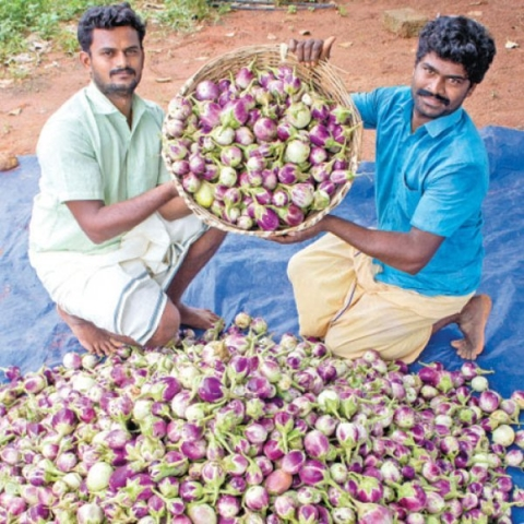 2 Acres... 200 Days... ₹3 Lacs... Super Returns from Manaparai Brinjal!