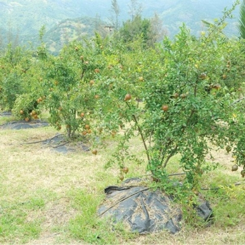 ₹ 2,50,000 per acre    Pomegranate under Organic Farming