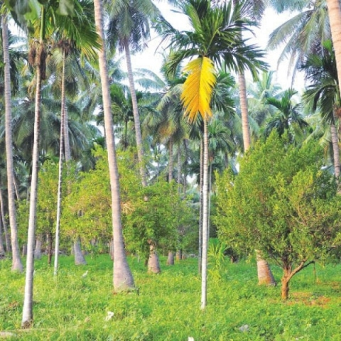 ₹10 Lakhs profit from 10 acres   Substantial Returns from Coconut