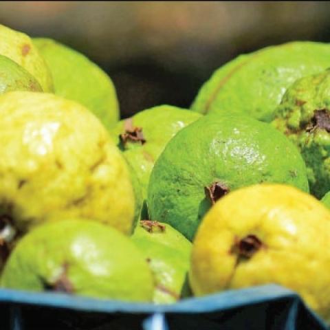 ₹4 lakhs per annum    Natural guava that sustains in spite