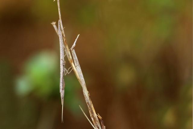 தயிர்க்கடைப் பூச்சி (Praying Mantis)