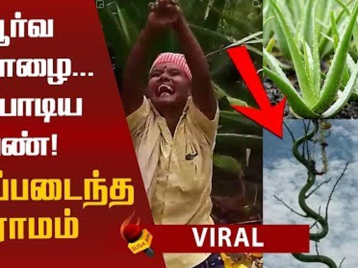 A peculiar Aloe Vera plant grown in Karaikudi village!