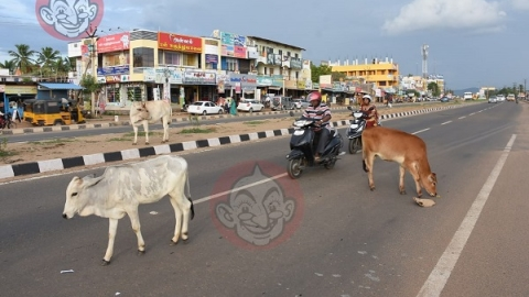 cows are roaming around highway side