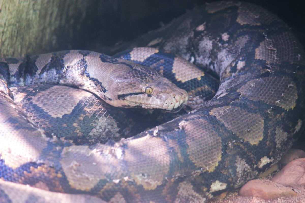 இந்திய மலைப்பாம்பு/ Indian Rock Python