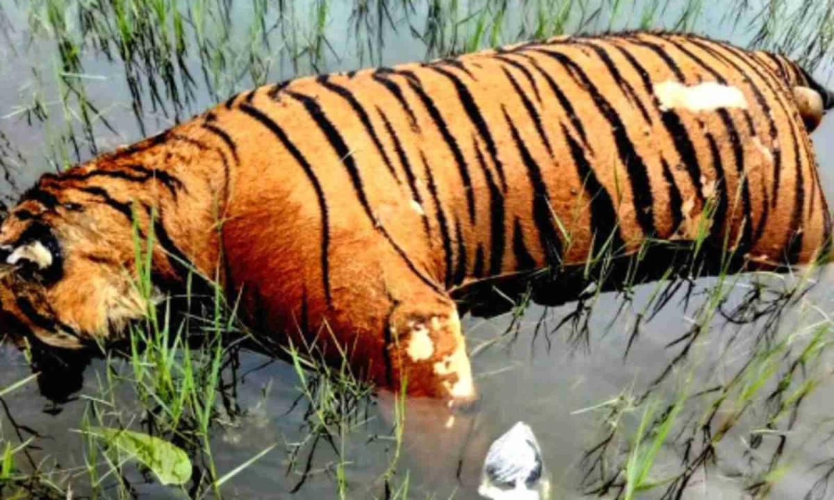 Tiger Carcass